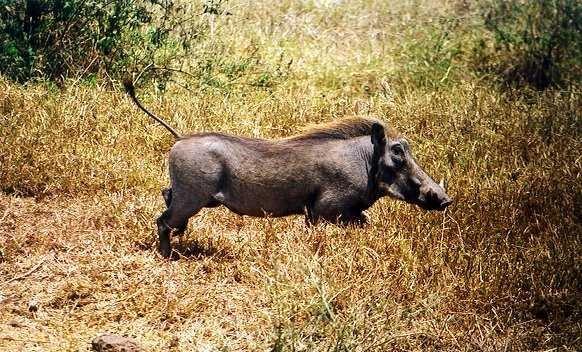 Antennenschwein