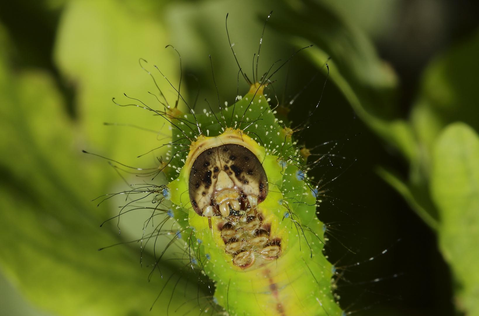 Antheraea pernyi (ver à soie de thussa)