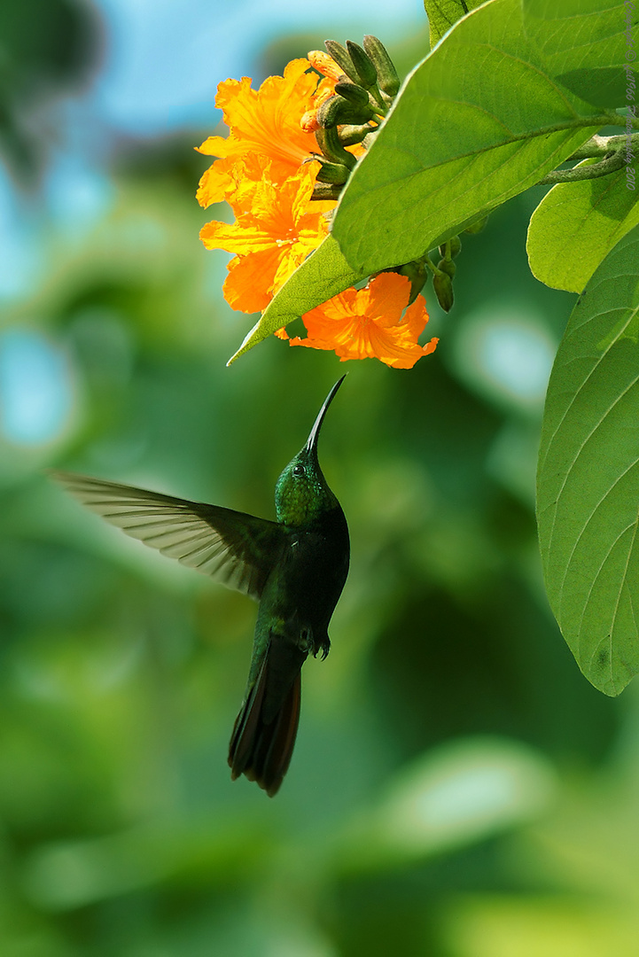 Anthracothorax dominicus (Humming Bird of Antilles)