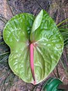 Anthurie - in Pink und Grün