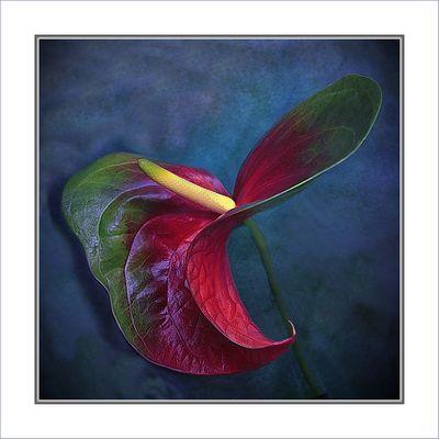 Anthurienblatt    -Hoja de anthurien