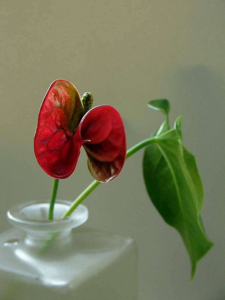 Anthurium andreanum das Original