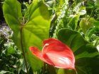 anthurium exotic
