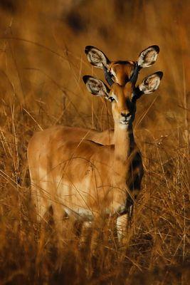 Antilope bicéphale