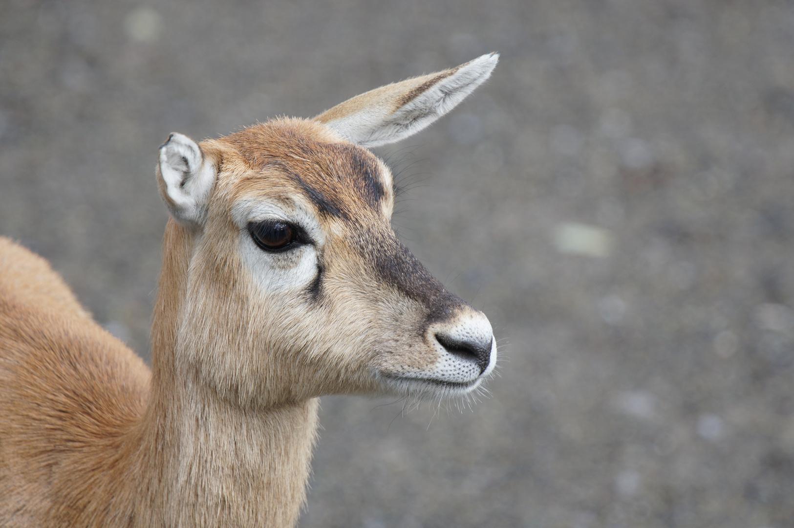 Antilope im Züri-Zoo