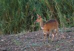 Antilopen Afrikas - Buschbock