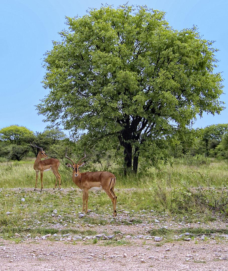 Antilopen in freier Wildbahn