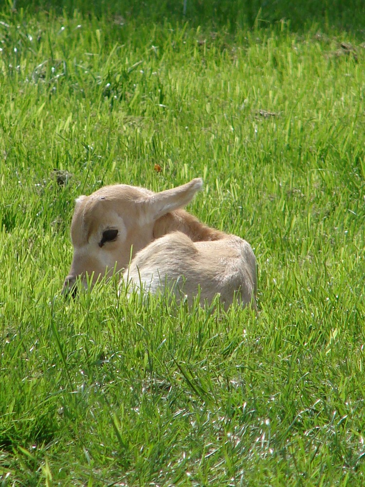 Antilopenkalb