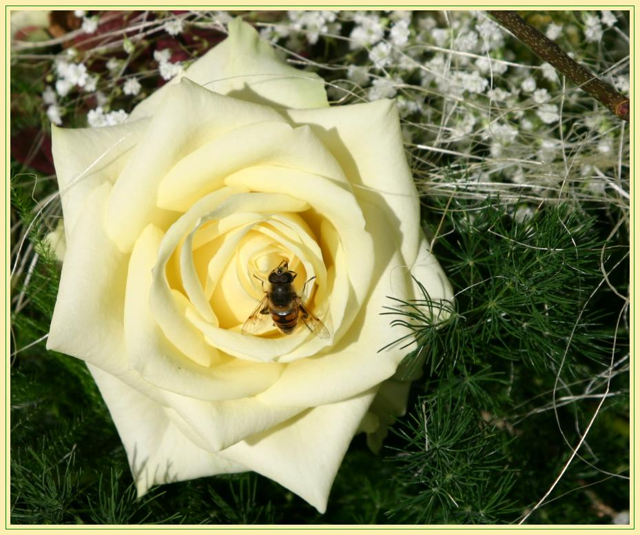 Anziehende Brautstraußrose