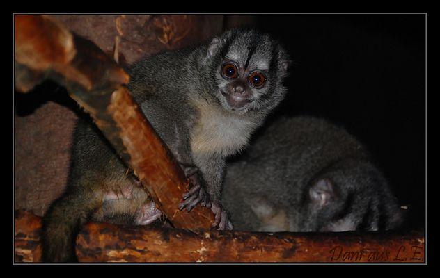Aotus lemurinus griseimembra