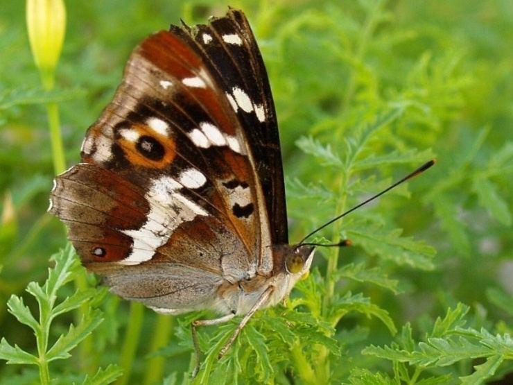 Apatura iris 1- § protected species