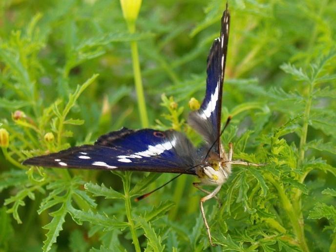 Apatura iris 3- § protected species
