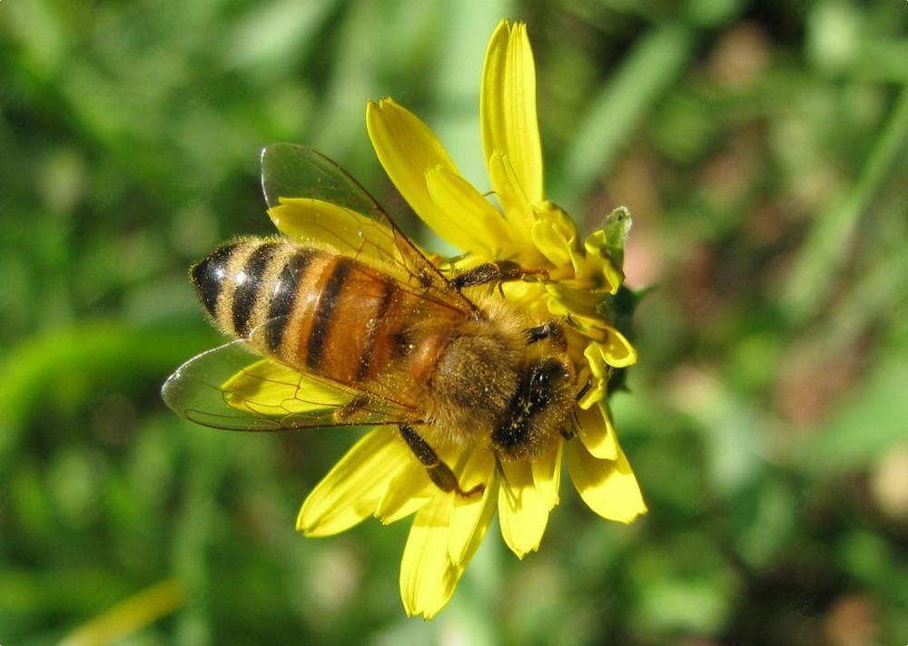 Ape su fiore foto immagini macro e close up macro di insetti api foto su fotocommunity - Api up ...