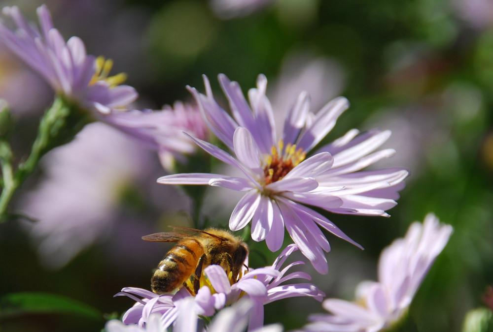 Ape su fiori settembrini foto immagini animali animali - Settembrini fiori ...