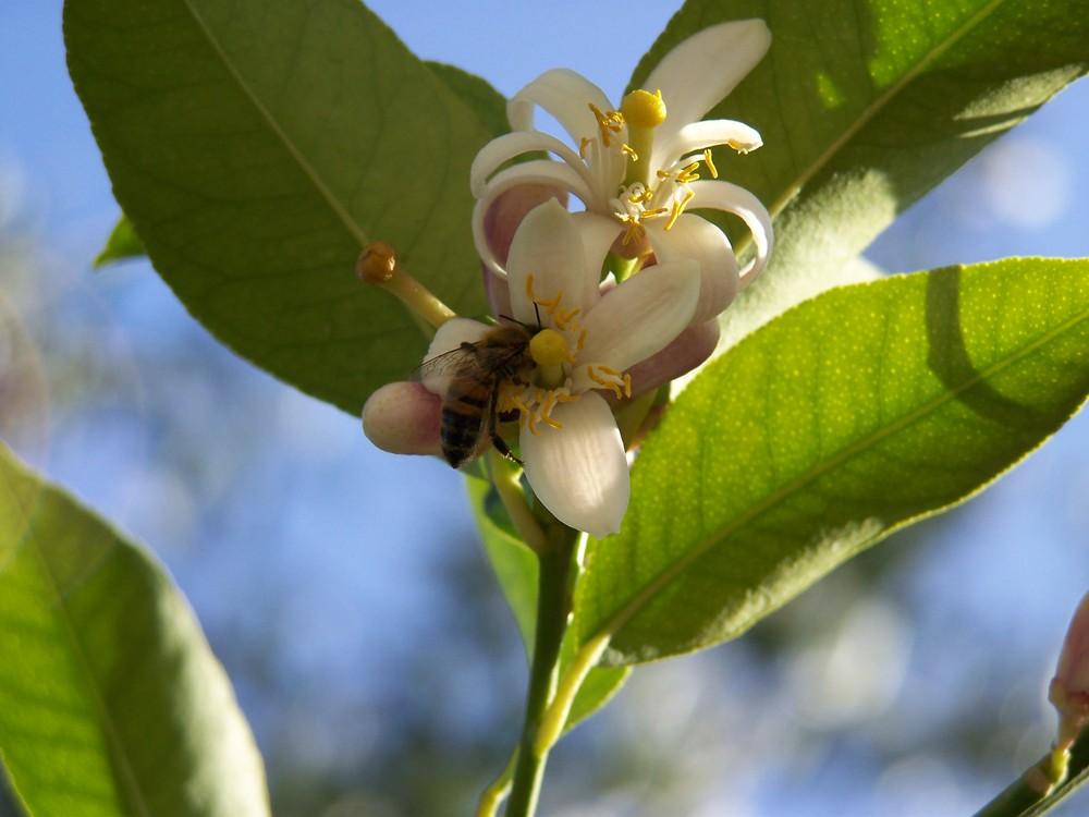 ape su un fiore di limone
