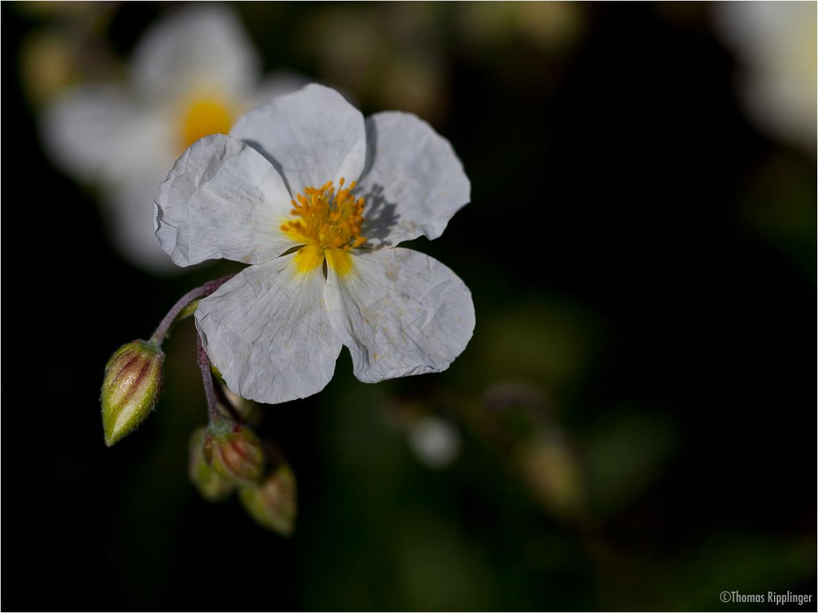 Apenninen-Sonnenröschen (Helianthemum apenninum)