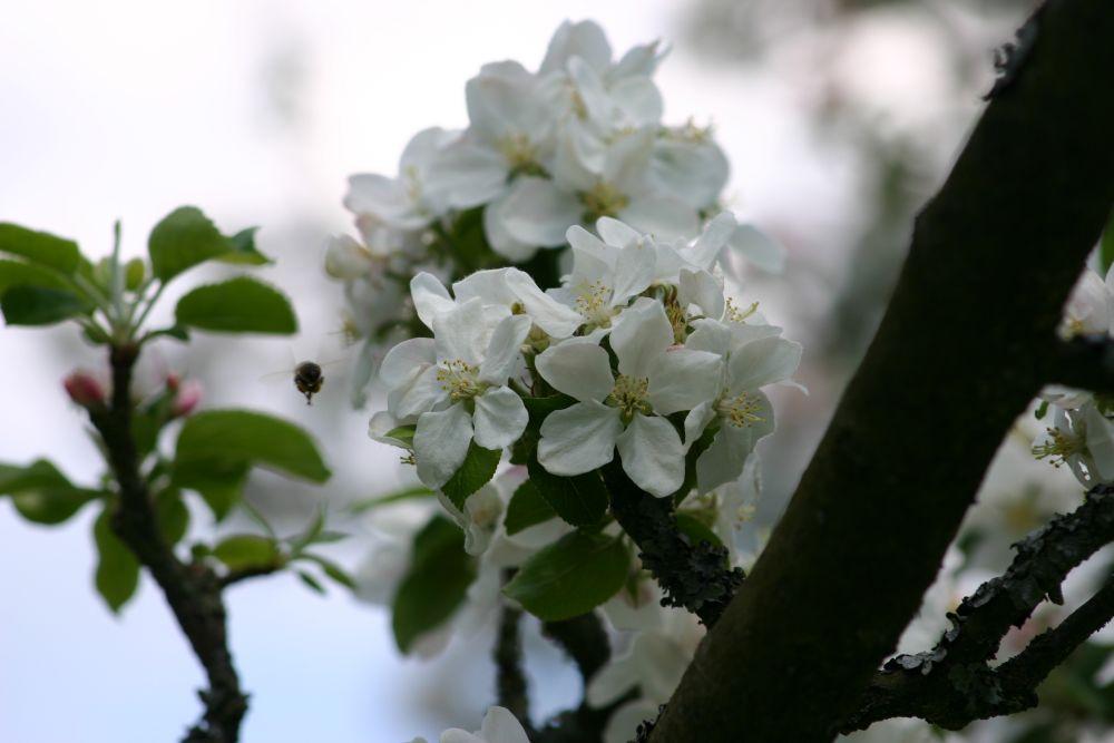 Apfel 4