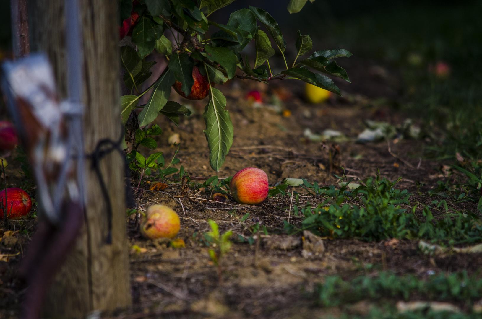 Apfel am Boden