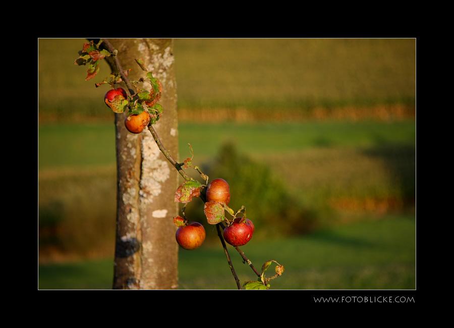 Apfel Baum Stamm