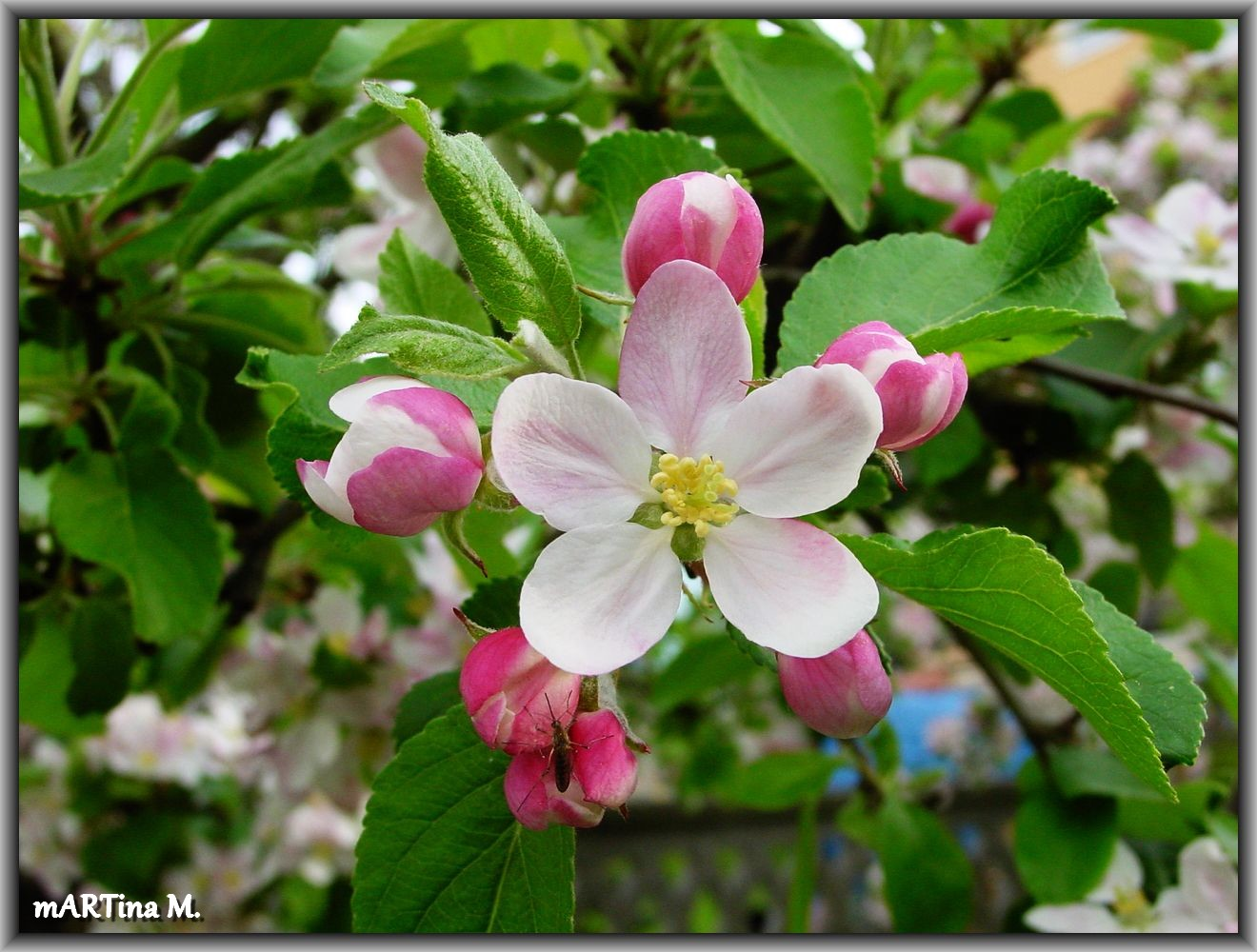 Apfel-Baum-Traum
