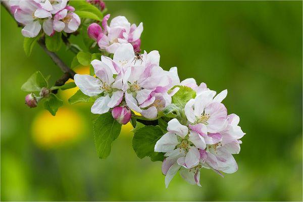 Apfel - Blüte