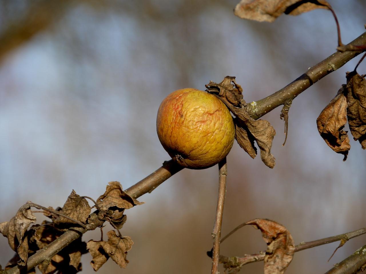 Apfel, einsam und verlassen im Dezember