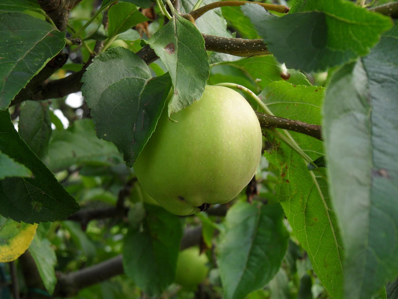 Apfel - Golden Delicious