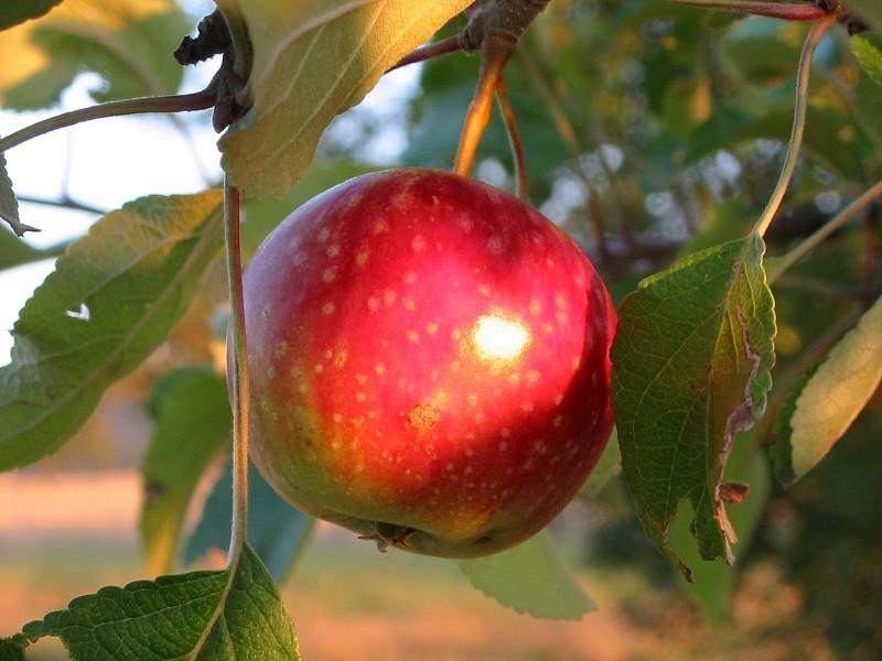 Apfel im Abendlicht