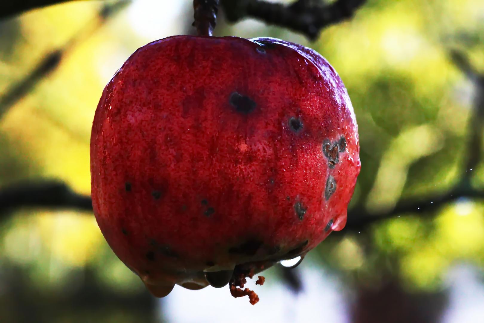 Apfel im Morgentau