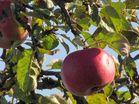 Apfel in der Herbstsonne