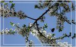 Apfel oder Kirschbaum