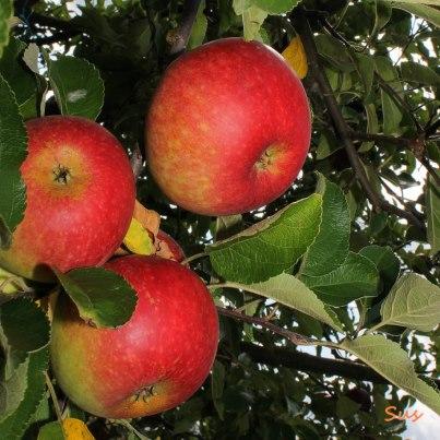 Apfel-Trio