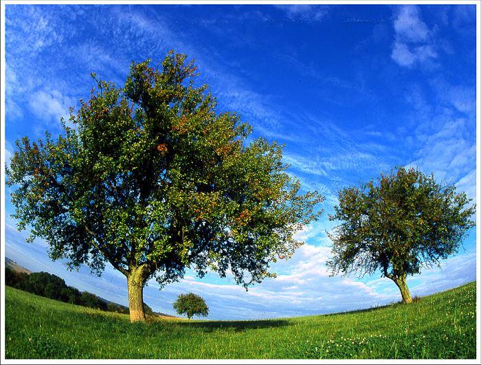 apfelbäume
