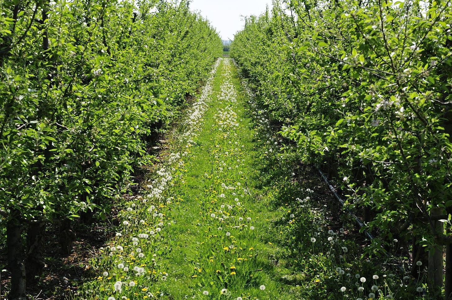 Apfelbäume auf einer Fahrradtour um Wesseling
