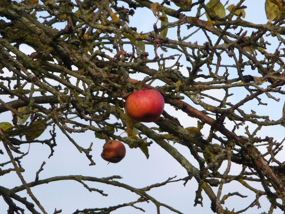 Apfelbaum 2 Äpfel Gegensätze