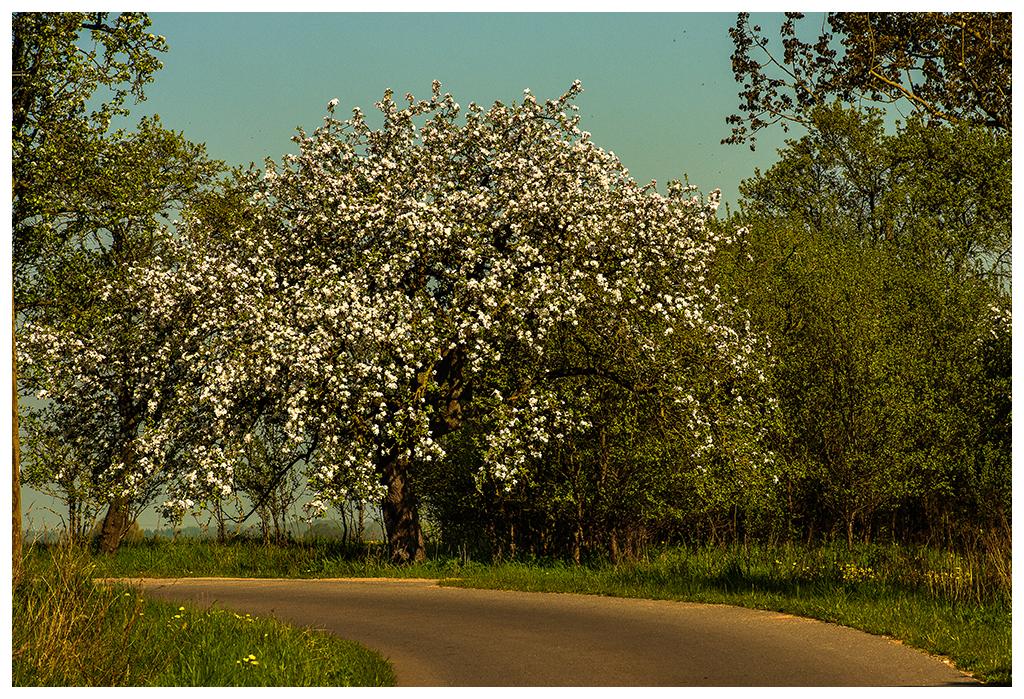 Apfelbaum an der Strasse
