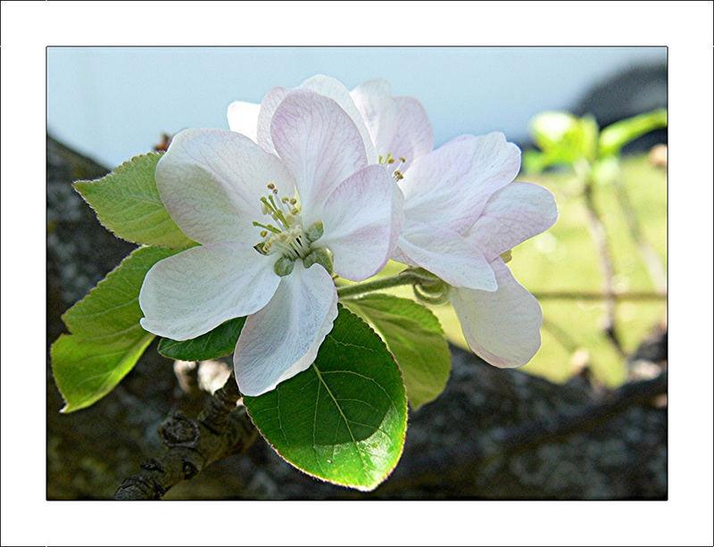 Apfelbaum Blüten