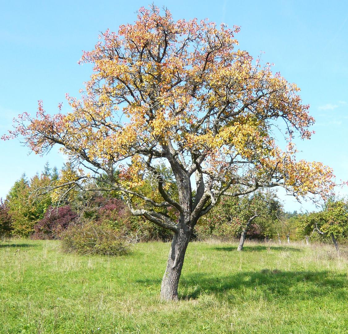 apfelbaum foto bild landschaft wege und pfade natur. Black Bedroom Furniture Sets. Home Design Ideas
