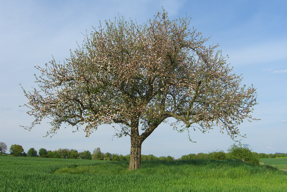 apfelbaum im mai foto bild pflanzen pilze flechten b ume einzelb ume bilder auf. Black Bedroom Furniture Sets. Home Design Ideas