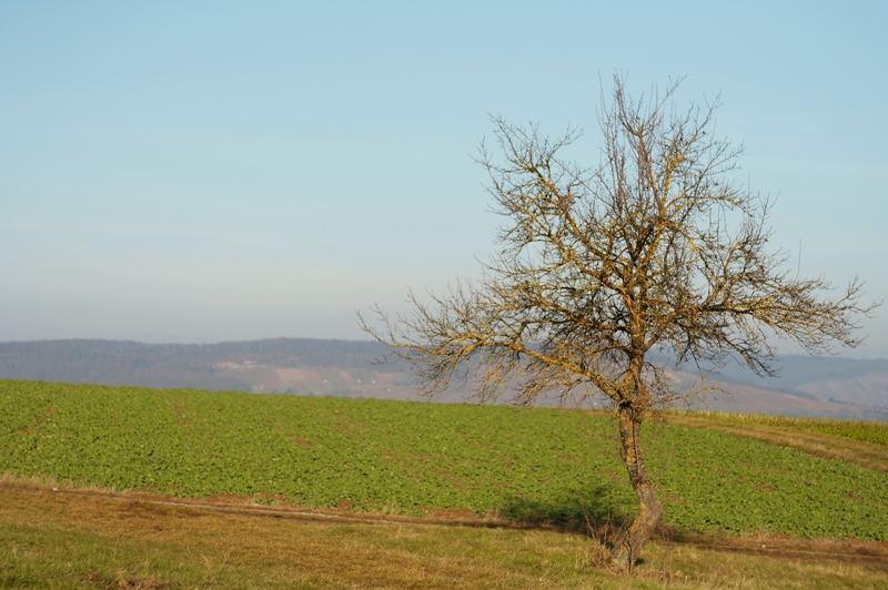Apfelbaum in der Dezembersonne