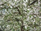 Apfelbaum in Farbe