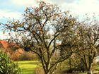 Apfelbaum ohne Blätter.