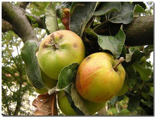 Apfelbaum - Wunder der Natur