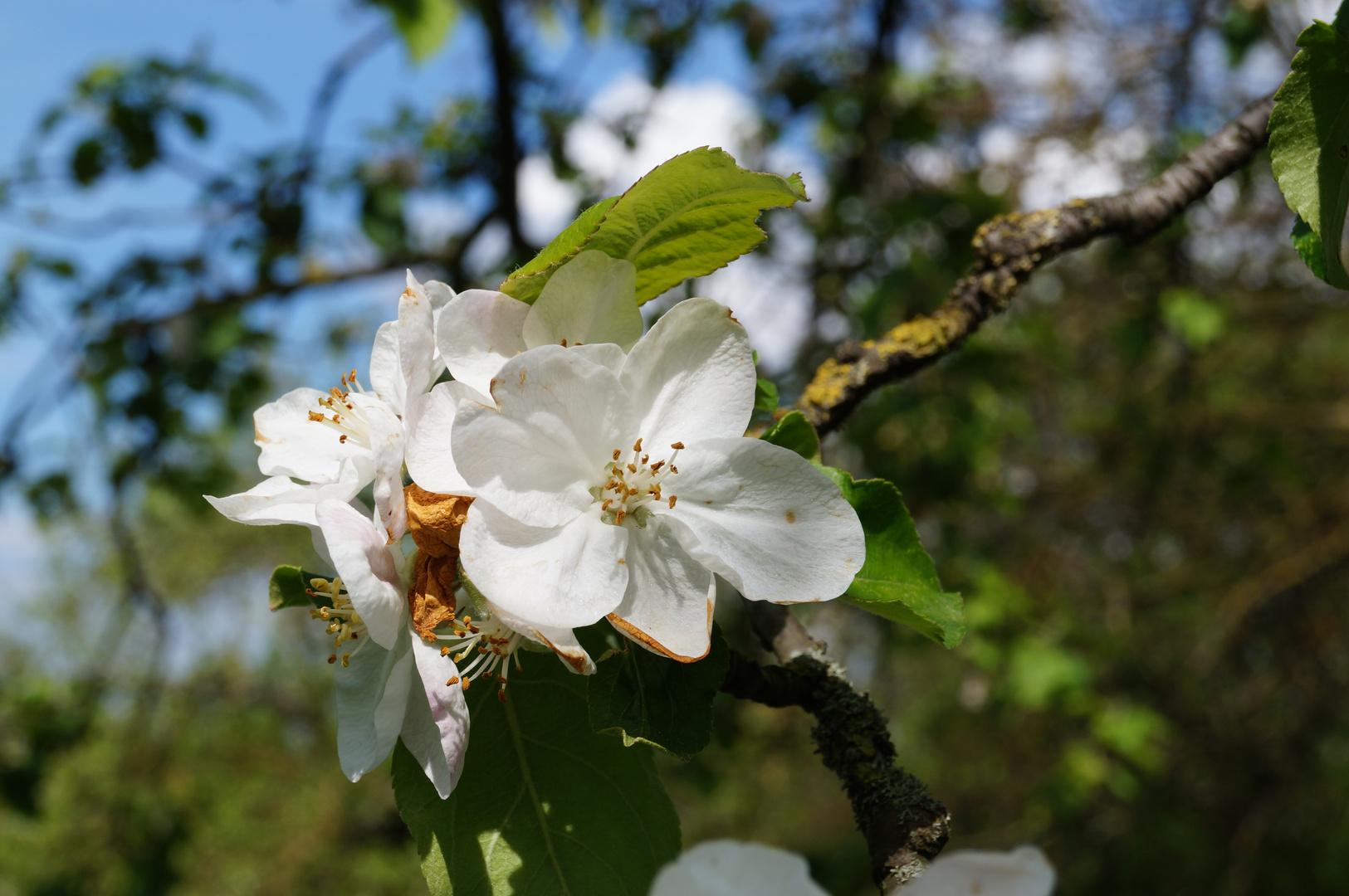 Apfelbaumblüte #3