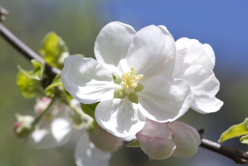 Apfelbaumblüte Frühling 08