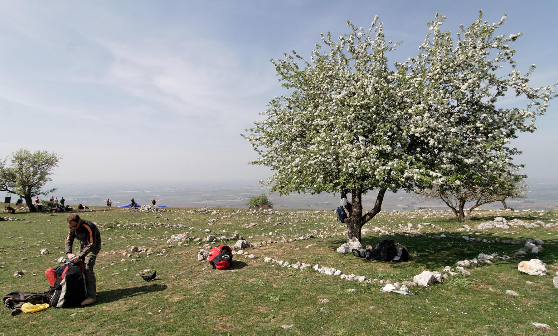 Apfelbaumblüte in Norba