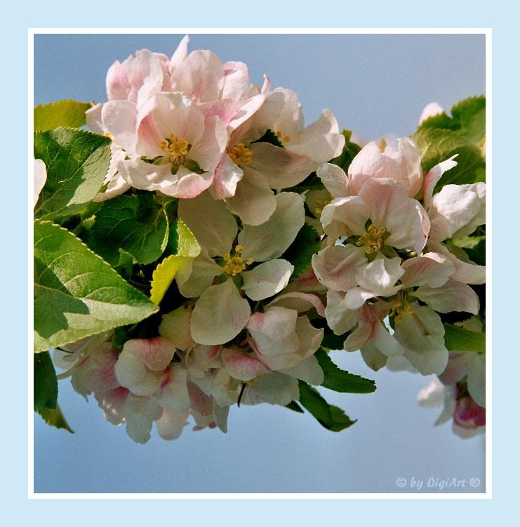 Apfelblüte 02