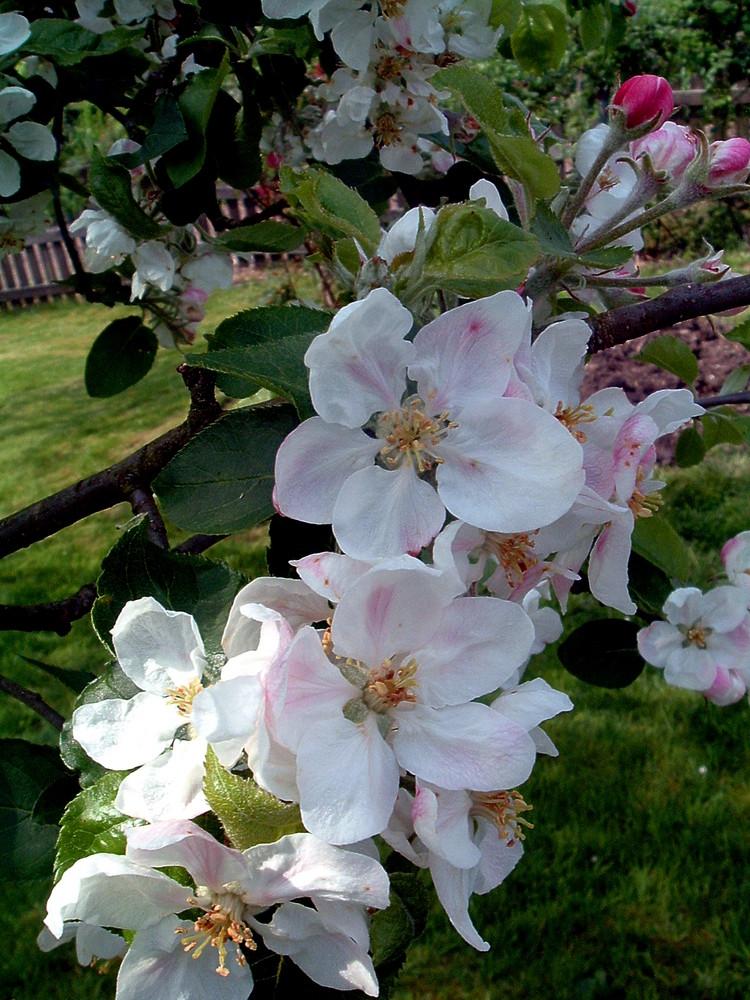 Apfelblüte 08