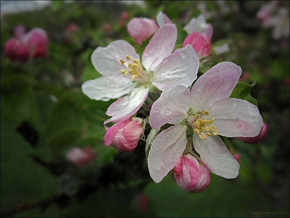 Apfelblüte-1