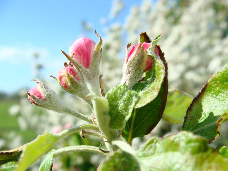 Apfelblüte….